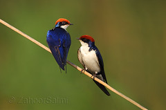 Wire-tailed swallow (Zahoor-Salmi) Tags: camera pakistan 2 macro nature birds animals canon lens photo tv google flickr natural action mark wildlife watch bbc 7d punjab discovery wwf salmi walpapers chanals beutty bhalwal zahoorsalmi