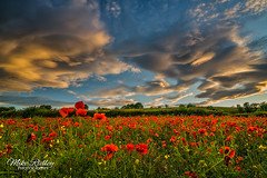 Fields of gold ... (Mike Ridley.) Tags: sunset nature gold poppies poppyfield leefilters mikeridley sonya7r2