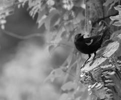 SURVEY (k.stewart.photography) Tags: bird birds animals nature tree garden outdoors wisteria plant britishcolumbia saltspringisland canada
