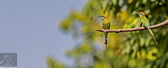 Bandhavgarh 030 (Black Stallion Photography) Tags: india black green birds photography golden long branch wildlife tail perch sunlit stallion beeeater bandhavgarh igallopfree