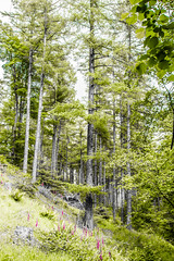 Grizedale forest (Ian_MC99) Tags: trees tree forest larch grizedale