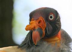 03-IMG_2153 (hemingwayfoto) Tags: berlin geier greifvogel knigsgeier lebewesen neuweltgeier sacroramphuspapa tier tierauge vogel zoo