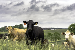 Cattle in tall grass in Kentucky (Outfielder569) Tags: cows cow cattle bovine farmanimal babyanimal pasture forages grass tallgrass farm farming ranch agriculture crossbred eartags spring birth new beginnings herbivore mammal hills kentucky appalachia clouds summer