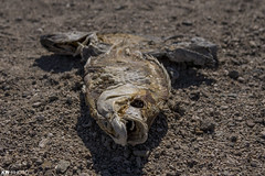 Salton Sea - Bombay Beach (eyeKelly) Tags: fish abandoned deadfish saltonsea bombaybeach