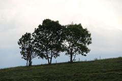 Trinit arboricole. (Dik) Tags: nature couleurs arbres archives impressions ballade sentiment posie 2016 dtails ambiances dclinaison estivale lments ressenti dike