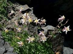 Aquilegia pubescens, ALPINE COLUMBINE (openspacer) Tags: inyocounty inyonationalforest