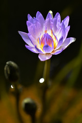 water lily 3761 (junjiaoyama) Tags: japan flower waterlily plant violet summer