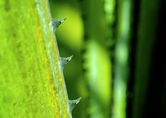 Three Thorns (-j-o-s-e-) Tags: green fauna tropical subtropical bright folliage barb barbs shallow dof depth field