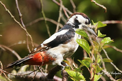 Great Spotted Woodpecter / Minster / Thanet / Kent / U.K (Tom Webzell) Tags: naturethroughthelens