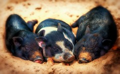 Three sweet piglets - ''One for all - all for one'' (Delbrcker) Tags: piglets ferkel tier animal outdoor nikond610 nikon 70200