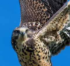 "Simon Says: ""Put your wings in the air"" (edmason88) Tags: swainsonshawk wings simonsays intheair tamron150600 strathconacounty alberta"