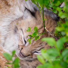 Sleeping beauty (nemi1968) Tags: 2weeksand5daysold canon canon5dmarkiii ef100400mmf4556lisiiusm eurasianlynx gaupe langedrag lynx markiii norway adorable animal animals cat catfamily closeup cub cute cuteness lynxcub lynxkitten mother outdoor peaceful portrait sleep sleeping son specanimal