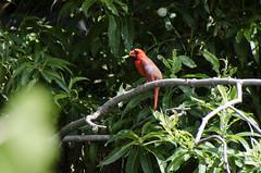 Missing Crest DSL9739 (iloleo) Tags: bird red cardinal summer toronto nature nikond7000 tree