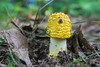 Yellow Toadstool Top Hat (tquist24) Tags: bonneyvillemillcountypark indiana nikon nikond5300 bokeh dirt fungi fungus geotagged mushroom park summer yellow bristol unitedstates toadstool one brown green wow