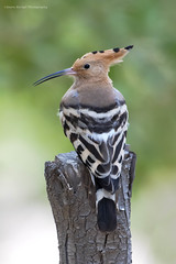 HOOPOE (Asaru Kariyil Photography) Tags: hoopoe nikon nikond500 d500 bird birdphotography greeny background qatar qatarbirds dohabirds dohaqatar nikkor nikkor200500 summer summerclick