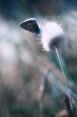 Minute papillon ♀ (Voyage Au delà d'un Regard) Tags: papillon argusbleu azurécommun butterflies bretagne breizh macro