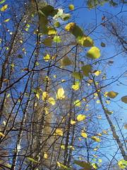 . Autumn. (Foto Svetlana) Tags:  autumn    leaves light branch