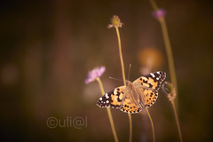Distelfalter / Painted lady / Vanessa cardui ( explored ) (uli@l ( OFF for a week)) Tags: nordhessen vanessacardui distelfalter paintedlady
