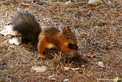 Scoiattolo rosso con coda nera (sciurus vulgaris) (4) (edmondo rizzo) Tags: scoiattolorosso sciurusvulgaris codanera femmina noci bologna mammifero