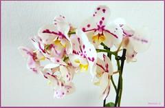 Orqudeas Mariposa: Phalaenopsis ( Montse;-))) Tags: orqudeas casa orchids
