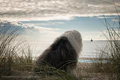 Sarah's view (dewollewei) Tags: old english sheepdog oes bobtail dew dewollewei sophieandsarah sophieensarah oldenglishsheepdog oldenglishsheepdogs oldenglishsheepsdog ameland hollum beach dog dogs hond waddeneilanden wadden waddenzee strand duinen dunes
