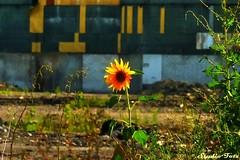 Samotny sonecznik (Studio Fotz) Tags: fabryka kwiat samotny ursus