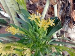 Kleinia neriifolia Haw. 1812 (COMPOSITAE) (helicongus) Tags: spain lanzarote islascanarias compositae kleinia kleinianeriifolia