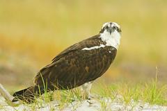Osprey (RKop) Tags: a77mk2 704000gssmsony handheld clearwater caladesiislandstatepark florida raphaelkopanphotography 70400gssmsony sony