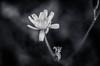DSC_0953 (deth_biscuit) Tags: flowers white black flower macro nature fleur lensbaby fleurs schweiz switzerland und nikon noir suisse blumen scout kit blume et weiss blanc schwarz optic vaud stprex waadt d5100