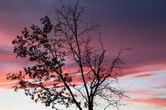 Plastic Sunset (kschr2004) Tags: trees sunset tree silhouette trash purple silhouettes sunsets plastic plasticbag plasticbags purplehaze canon6d