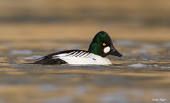 Goldeneye (Corey Hayes) Tags: wild male green bird nature duck wildlife waterfowl londonontario greenway wildlifephotography