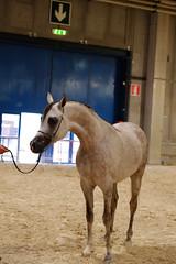 DSCF6344 (Claudy.blc) Tags: horses fuji verona rodeo claudio cavalli cavallo arabi spettacolo fiera manifestazione xe1 balocco claudioblc claudiobal