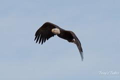 Bald Eagles Perform Flyby in Adams County, Colorado
