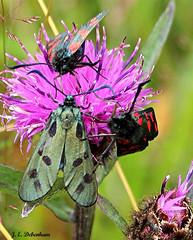 Rare Six-spot Burnet - Zygaena filipendulae. (jeannie debs) Tags: moth rare aberration sixspotburnet zygaenafilipendulae