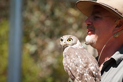 ellie, barking owl (johncarney) Tags: bird australia ellie owl sa southaustralia kangarooisland barkingowl ninoxconnivens winkingowl raptordomain barkingboobook