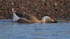 Swan Goose, River Eden near Linstock, 27 December 14 (gillean55) Tags: camera bridge bird canon river swan north drinking goose powershot domestic cumbria eden hs superzoom linstock sx50 hockergans