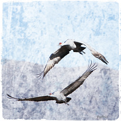 Flight in Twos (PegPrice) Tags: arizona usa nature birds az sandhi