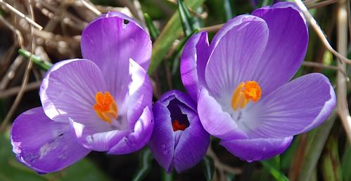 Crocuses - An Open & Shut Case of Spring Beauty!