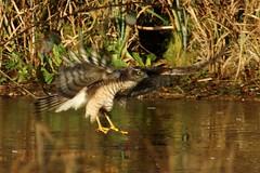 Sparrowhawk (Mrs Airwolfhound) Tags: cold bird woodland december hawk sandy sunny icy birdofprey sparrowhawk rspb wildllife