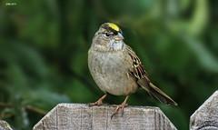 Golden-crowned Sparrow (Ethan.Winning) Tags: birds northerncalifornia northamerica sparrows avian goldencrownedsparrow walnutcreekopenspace oldborgesranch dailynaturetnc13 dailynaturetnc14 oldborgesranchtrail ethanwinning eawinning