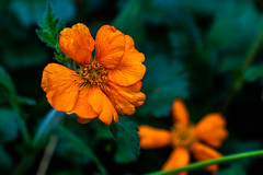 Orange and Green (Steve-h) Tags: park november flowers autumn ireland dublin green nature leaves petals blossoms orage allrightsreserved ststephensgreen 2014 canoneos5dmkii canonef100mmf28lmacroisusm steveh
