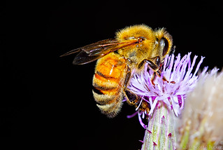 Honey Bee with Thistle Redux