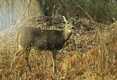Looking for Rudolph (floralgal) Tags: park nature animal woods deer ryenewyork newyorklandscape marshlandsconservancyryenewyork