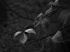 _NIK0722 bn (nikdanna) Tags: nature leaves foglie blackwhite natura bianconero interno7 nikdanna