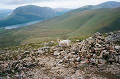 A sheep on a mountain in Wales (Jim Davies) Tags: mountain film wales 35mm olympusstylusepic sheep kodak ishootfilm snowdon analogue snowdonia c41 olympusmjuii colourfilm ektar100 veebotique filmfilmforever