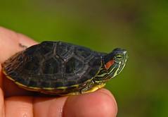 Little tender turtle! (ineedathis, the older I get, the more fun I have!) Tags: baby newyork nature closeup spring pond turtle huntington tortoise longisland myhand redearedslider heckscherpark trachemysscriptaelegans nikond80
