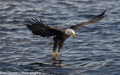 Bald Eagle (Dan Shearer | Photography) Tags: mississippi iowa mississippiriver eagles baldeagles lockanddam14 ld14