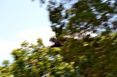 DSC_0005 (RUMTIME) Tags: bird nature birds fly flying flight feathers feather queensland crow coochie coochiemudlo