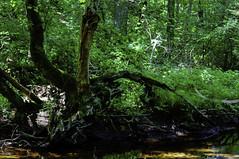 Streamside (joegeraci364) Tags: park fern color tree green art nature water yard forest print landscape flow photo bush stream peace image scenic calm shade stump land serene brook