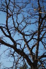 Twilight (Danielle_M_Bedics) Tags: blue trees sky tree nature garden oak branches arboretum bark botanic twigs brambles naturephotography buroak